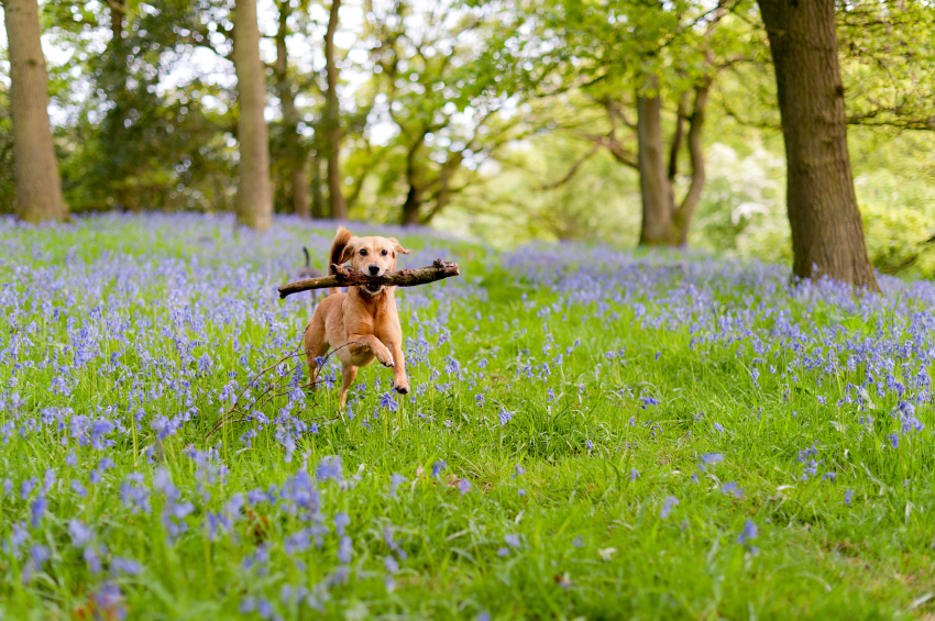 Dog running with stick through flowers