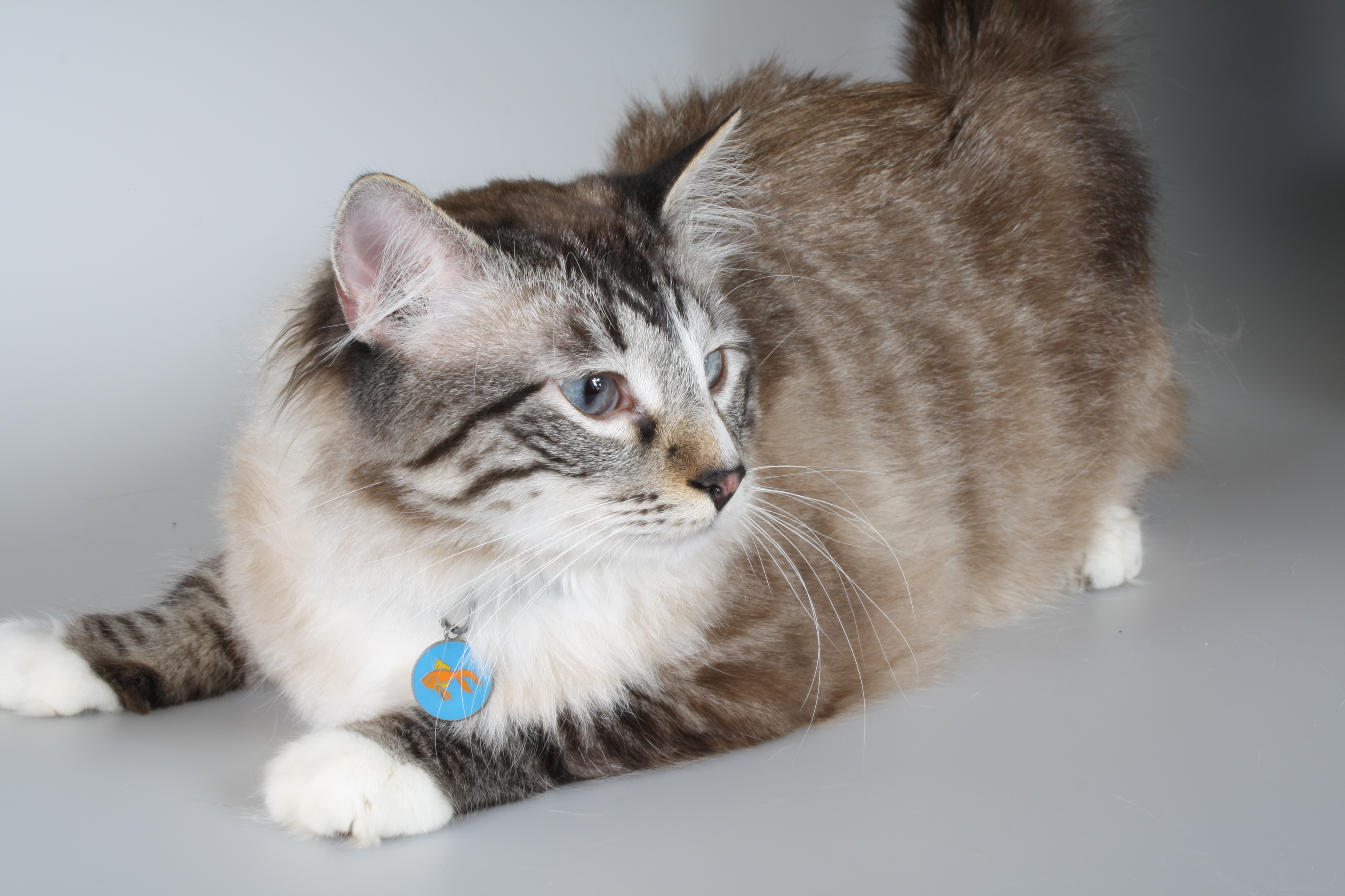 Why Cats Should Wear ID Tags