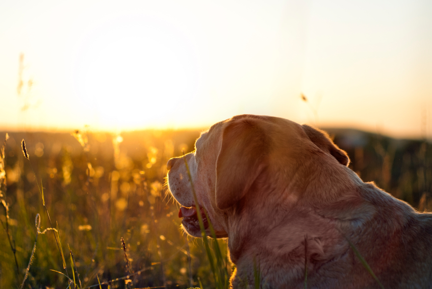 Dog looking into sunset