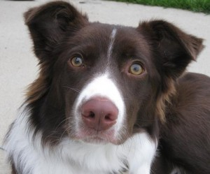 Pixie the border collie