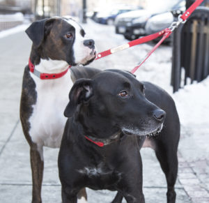 Two dogs on double leash