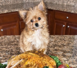 Puppy on counter top with turkey