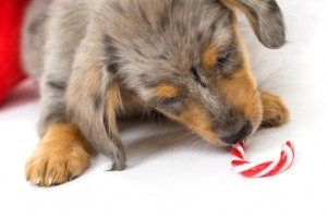 Puppy chewing on candy cane