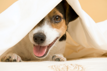 Should You Allow Your Dog on the Bed?