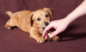 puppy nibbling on hand