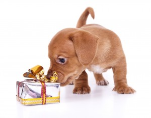 Puppy sniffing a present