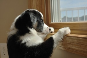 Australian Shepherd (Aussie) Puppy Looking Out Window