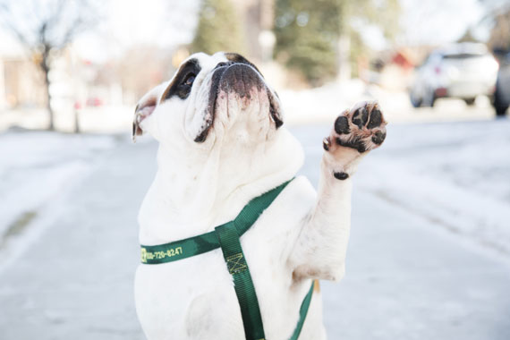 a white pug in a green harness paws at the camera