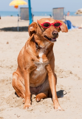 Dog in sunglasses on a beach