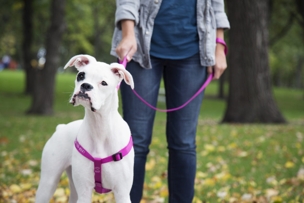 Dog in park wearing nylon harness