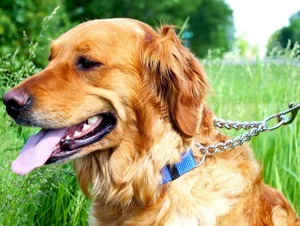 4 Reasons to Use a Martingale Collar for your Dog