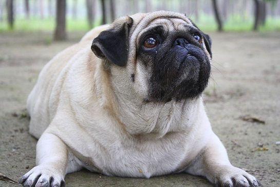How to Help a Dog Lose Weight – 5 Tips