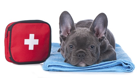 French bulldog with first aid kit