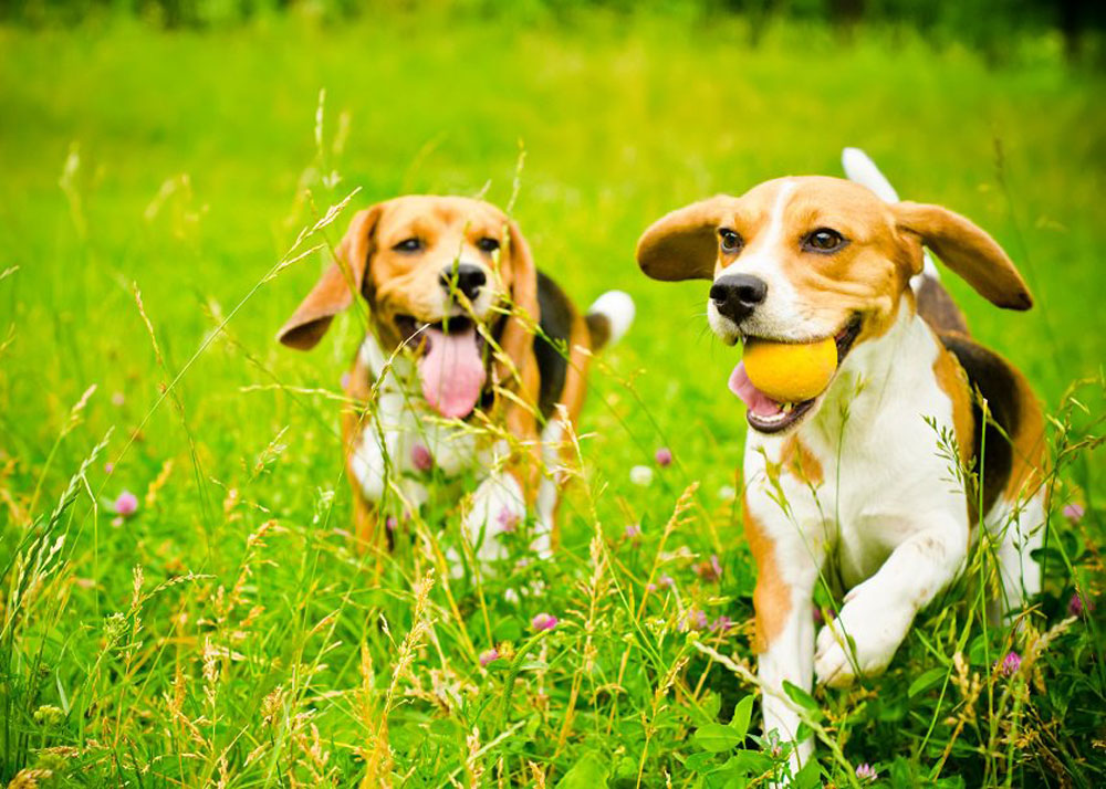 Two beagles running outside