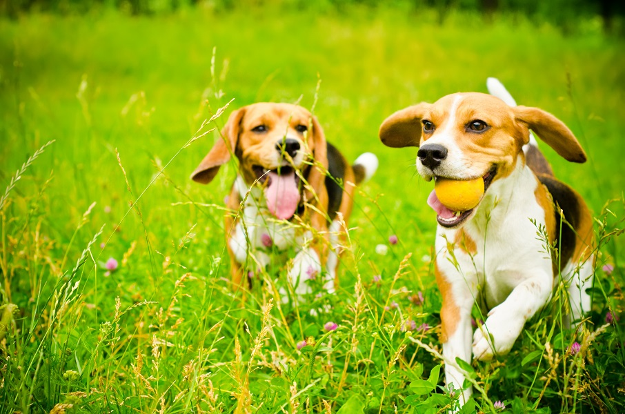 two beagle dogs running outside