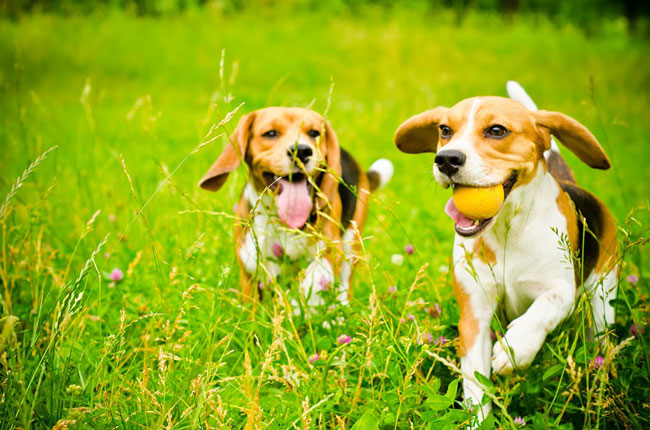 two beagles playing together