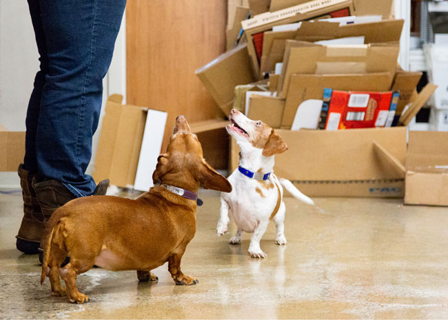 introducing two dachshunds in a bare room