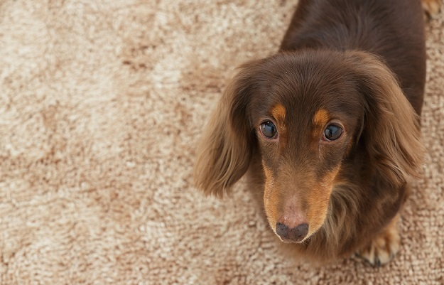 dachshund looks up at the camera