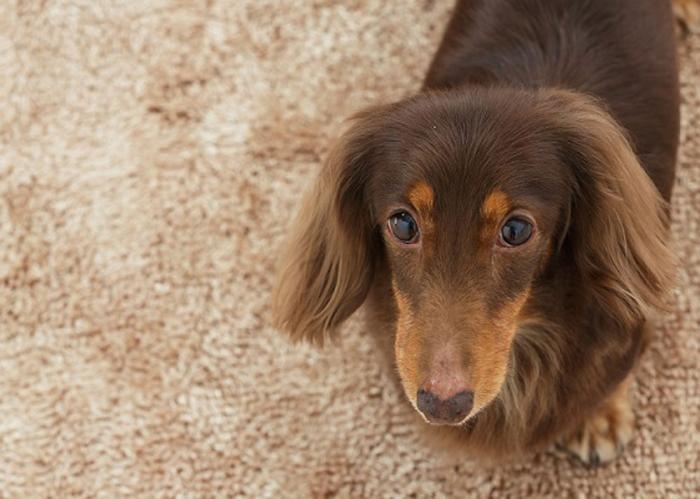 6 Tips to Stop Your Dog From Marking in the House