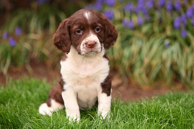 Springer Spaniel Puppy Sitting in Grass