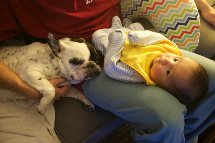 Rocky the French bulldog and the baby