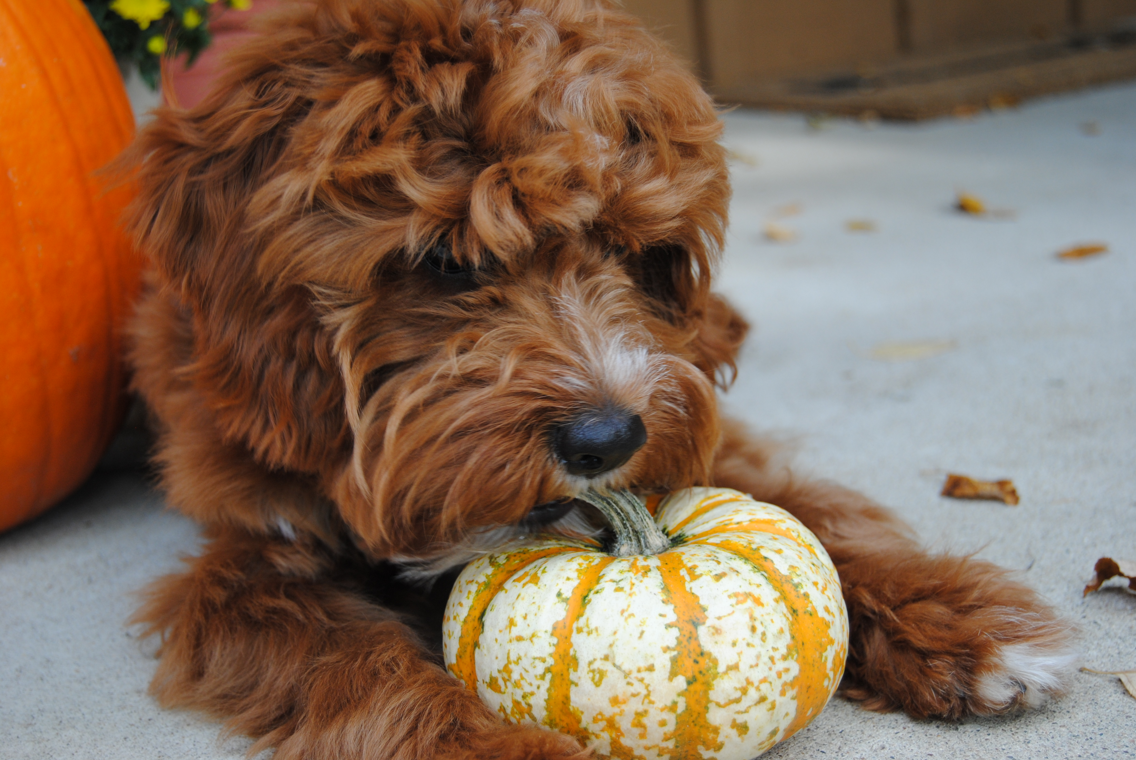Can You Give Pumpkin To Dogs