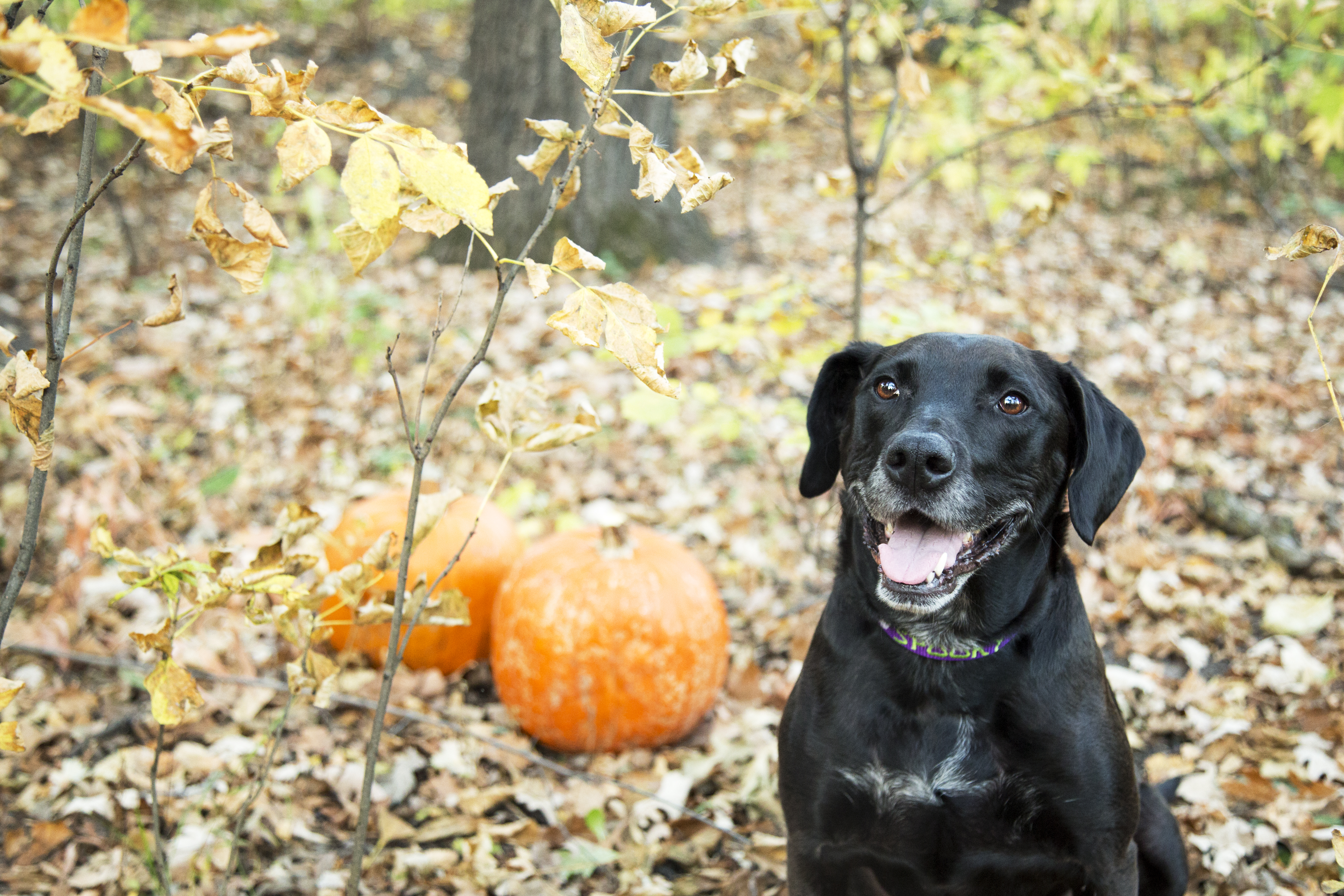 What To Give Dogs For Diarrhea Pumpkin