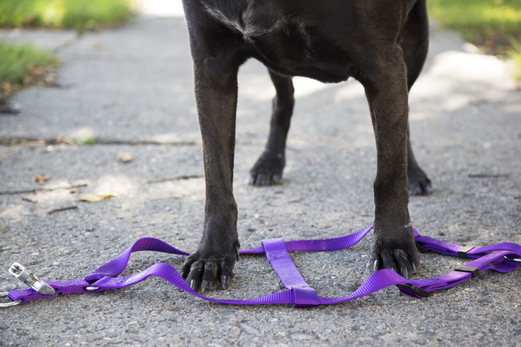 Place the nylon harness between your dogs feet.