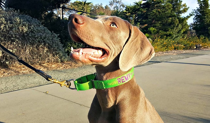 Dog in martingale collar