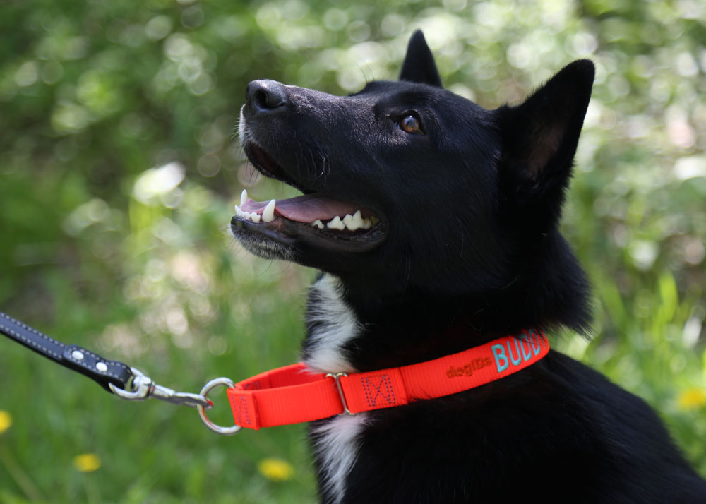Dog wearing martingale collar