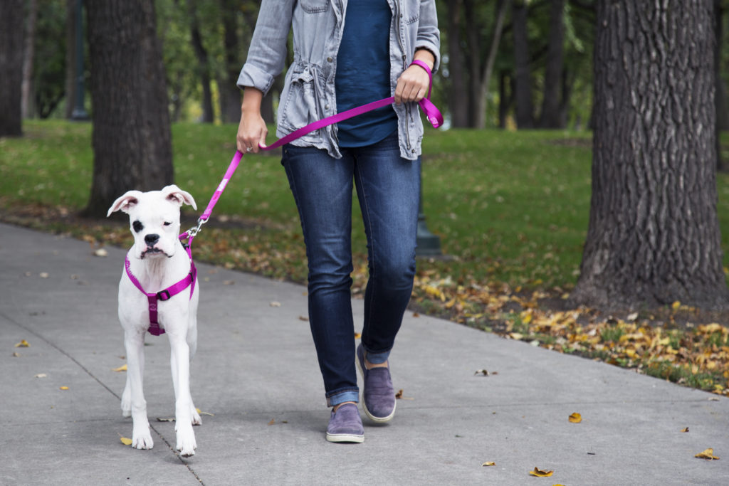 Dog walking in a harness