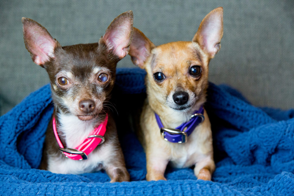 Two small dogs in waterproof collars