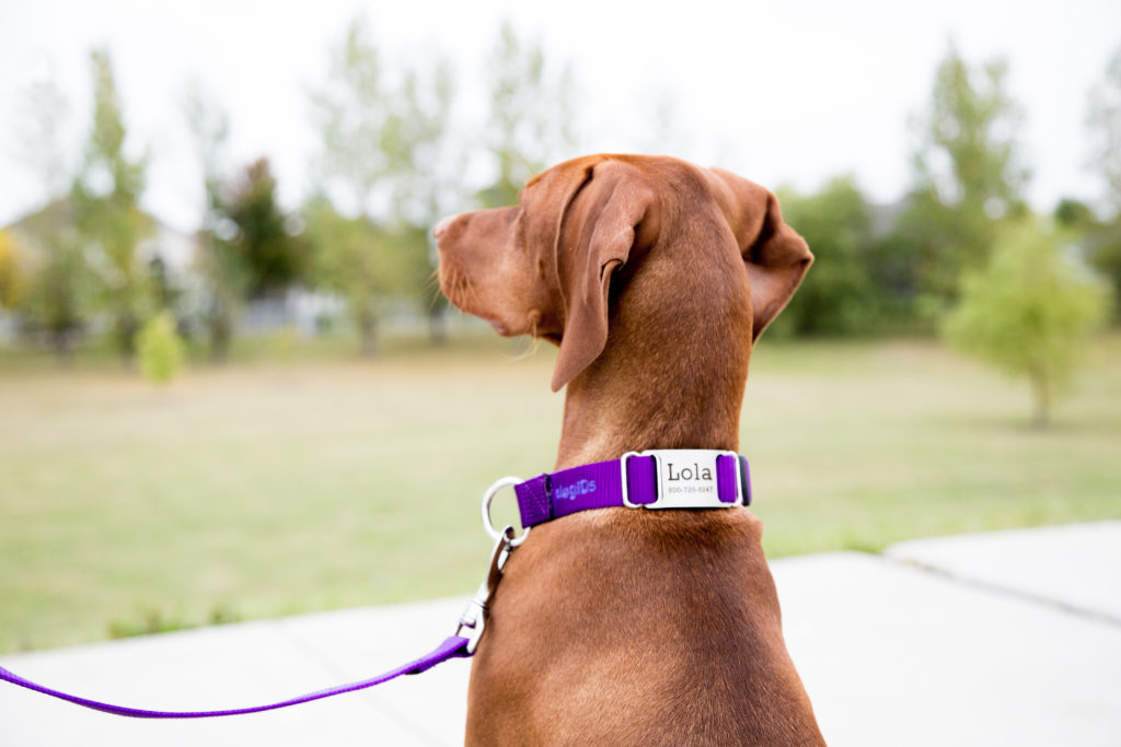Dog wearing nylon ScruffTag collar