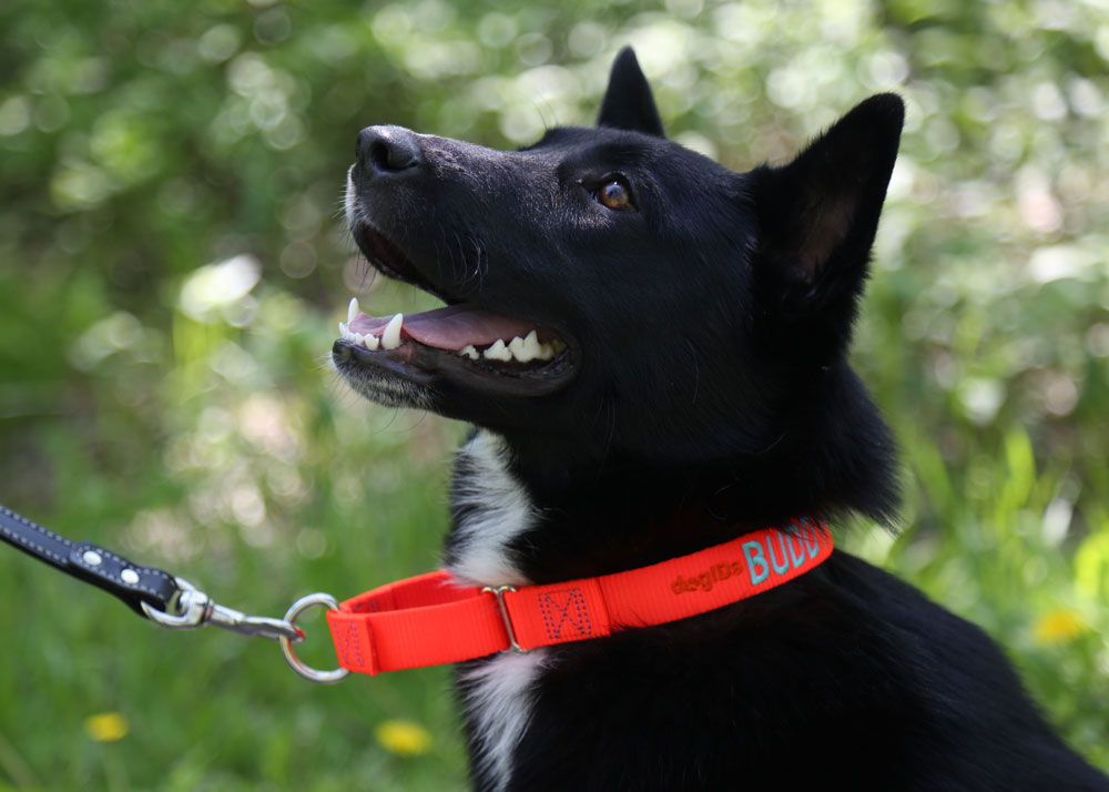 Dog wearing martingale nylon collar