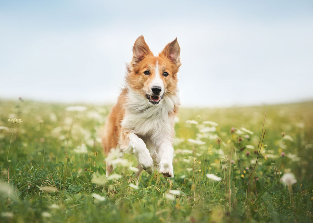 dog running through flower field