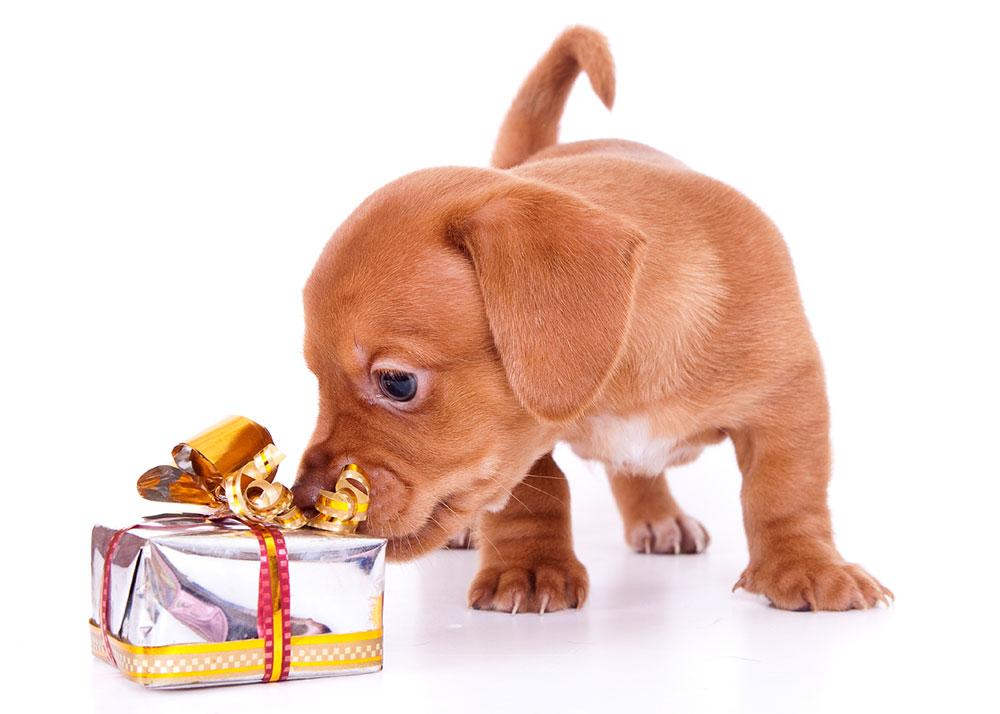 3 Basic Questions You Should Ask Before Giving A Pet This Christmas
