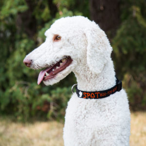 Dog Wearing Halloween Nylon collar