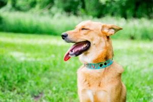 Dog Wearing Sunshine Nylon Collar