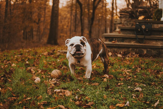 bulldog stands in the grass in autumn