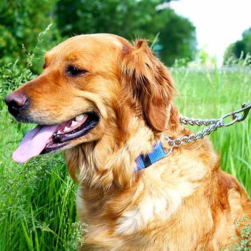 golden retriever with blue martingale collar