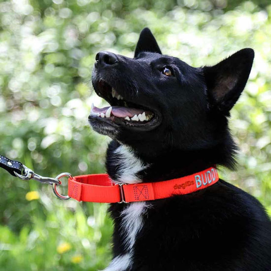 black dog with an orange martingale dog collar