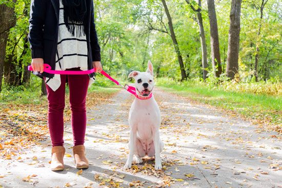 white dog in the fall wearing a pink martingale dog collar